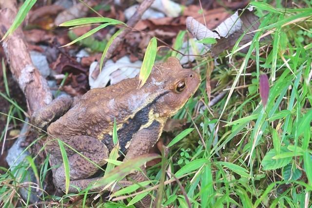 檜岳山稜のカエル