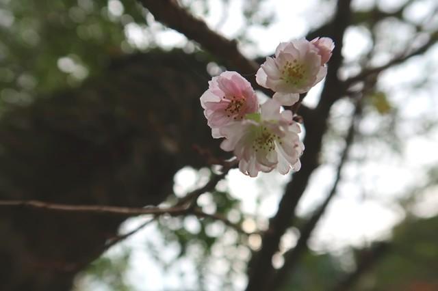 寄大橋の寒桜
