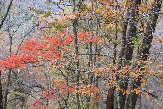 つつじ新道の標高1,000m付近の紅葉