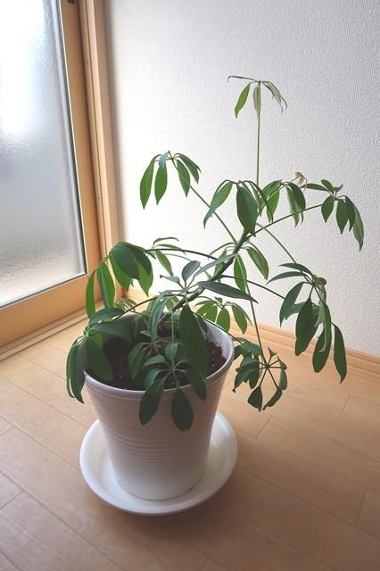 観葉植物用カポックの植え替え