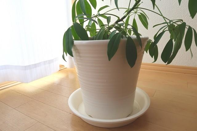 値段が高かった陶器製の鉢とカポックの相性