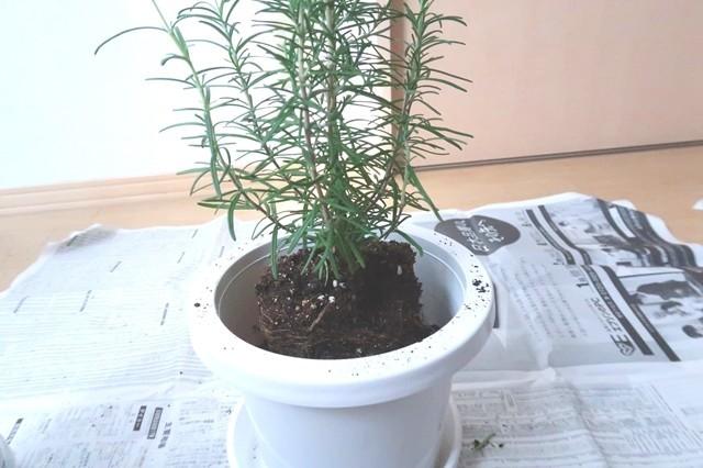 ローズマリーを鉢に移植