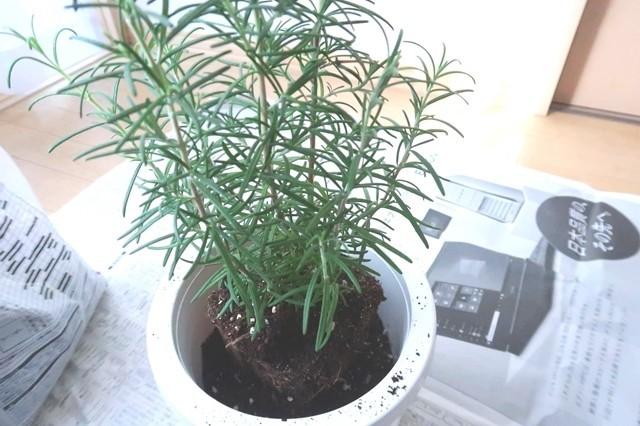 鉢とローズマリーの隙間にハーブの土れて植え付ける