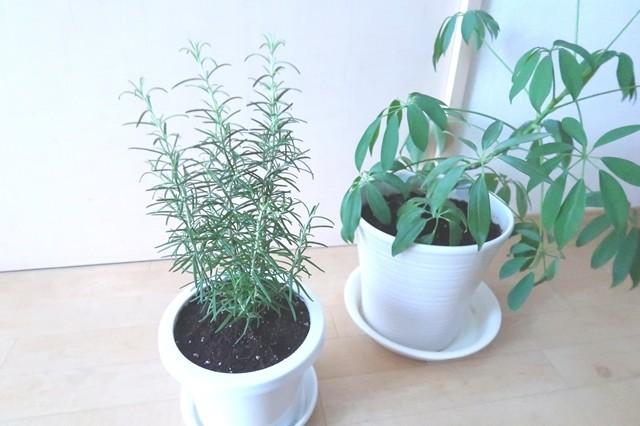 ローズマリーの隣に観葉植物カポック風水と置き方の効果