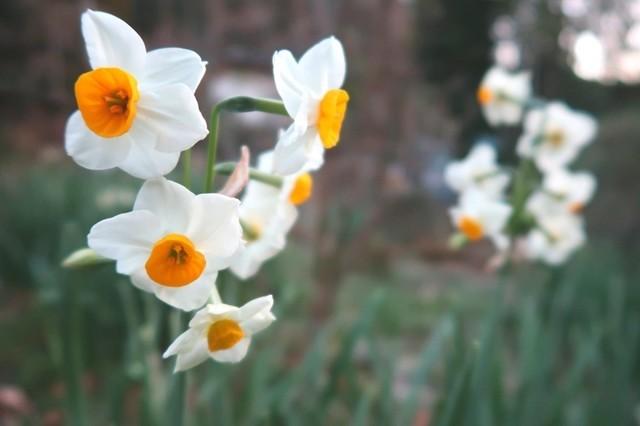 日向薬師で咲いていた水仙