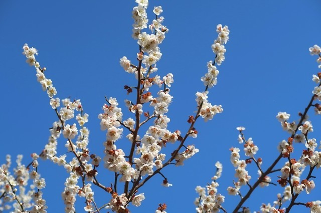 矢倉岳登山口周辺で桜が咲いていた