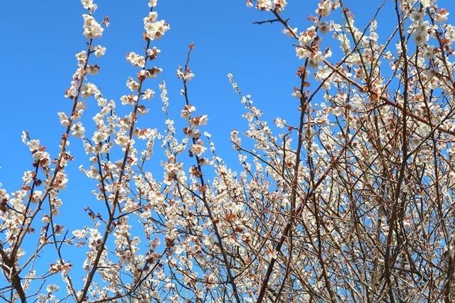 5分咲きの足柄古道桜の様子