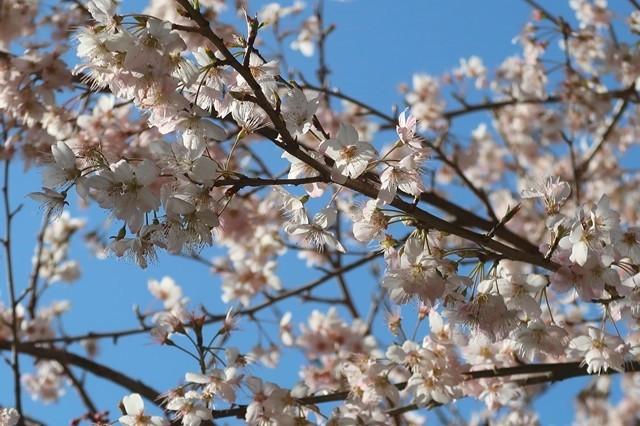 矢倉沢ルートも桜が満開