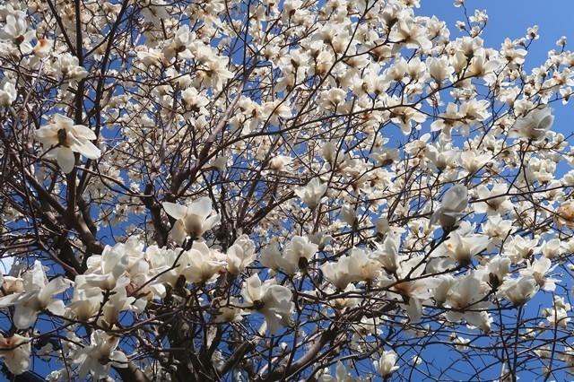 矢倉岳へ上る途中のモクレンのお花が満開