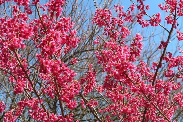 白山神社周辺の真っ赤な桜