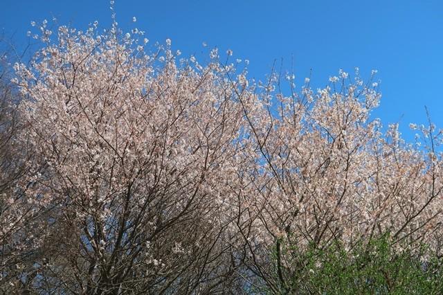 足柄古道桜が満開