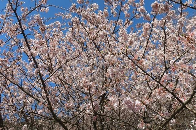足柄古道周辺の桜の花
