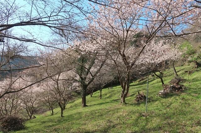 もみじ山の桜の木