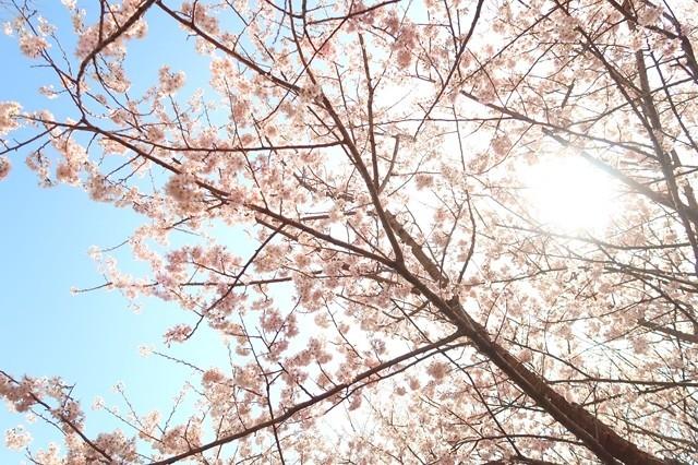 もみじ山の桜を下から激写