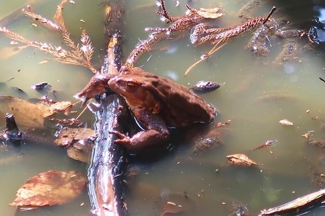 矢倉岳の登山道でカエルが半身浴していた