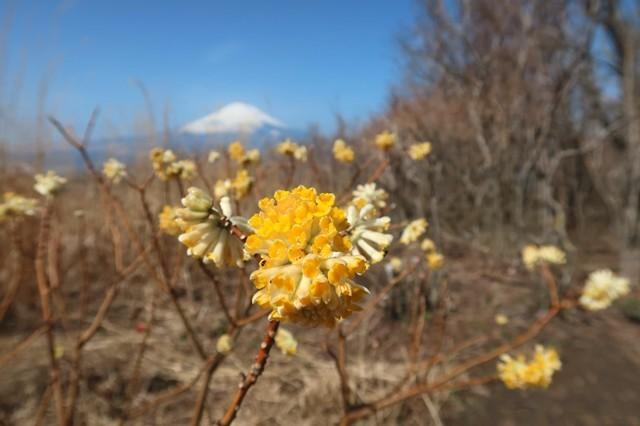 矢倉岳の山頂ミツマタの花