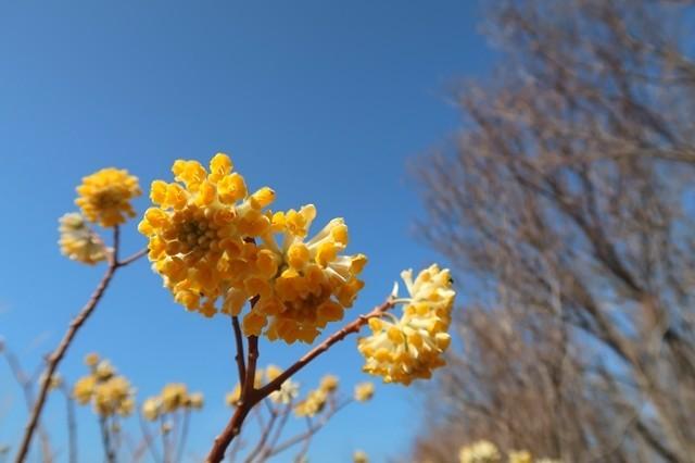 7分咲きのミツマタの花