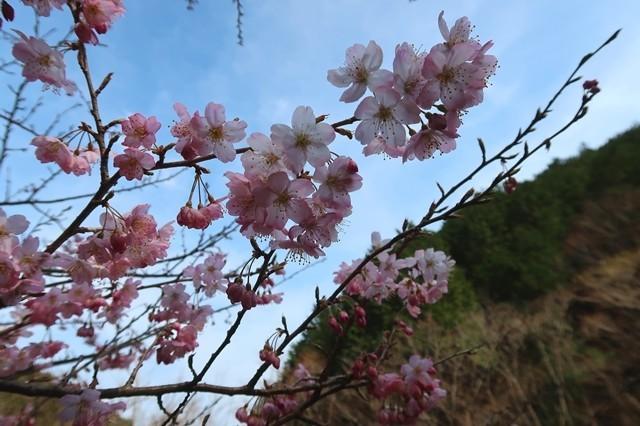 金時山登山中の桜の花