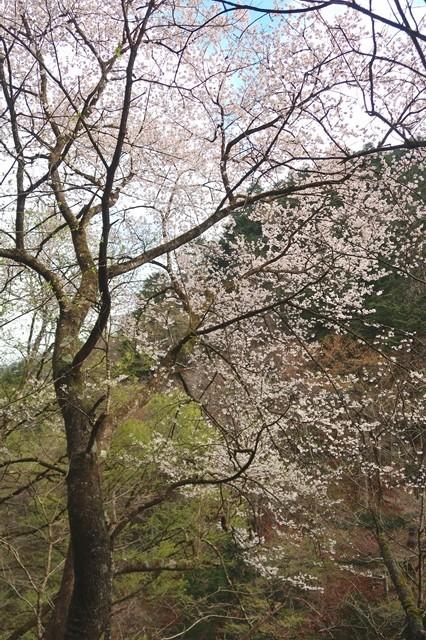 片倉橋のゲート付近の桜の花