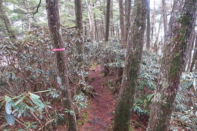 飛龍山周辺の石楠花の藪漕ぎ