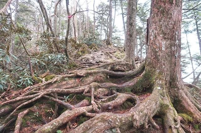 前飛龍山の石楠花の藪漕ぎルート