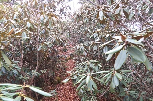岩岳尾根の石楠花の藪漕ぎ