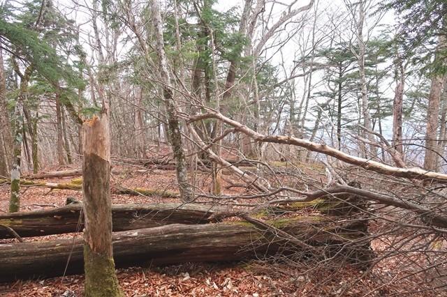 岩岳尾根の倒木地帯
