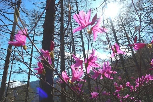 宝鉱山近くのミツバツヅジの花