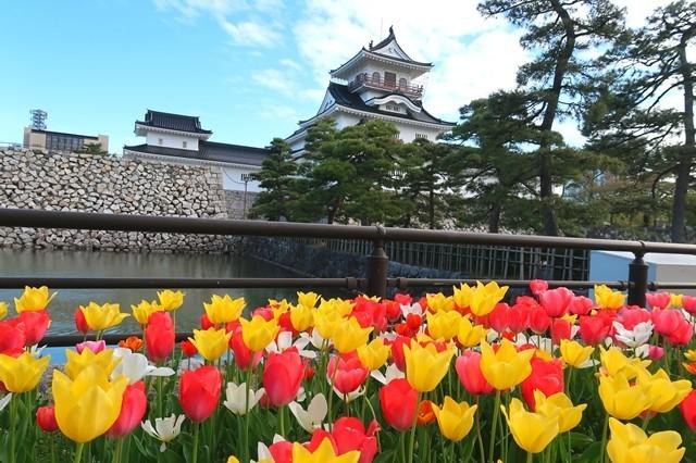 富山城とチューリップの花の景色