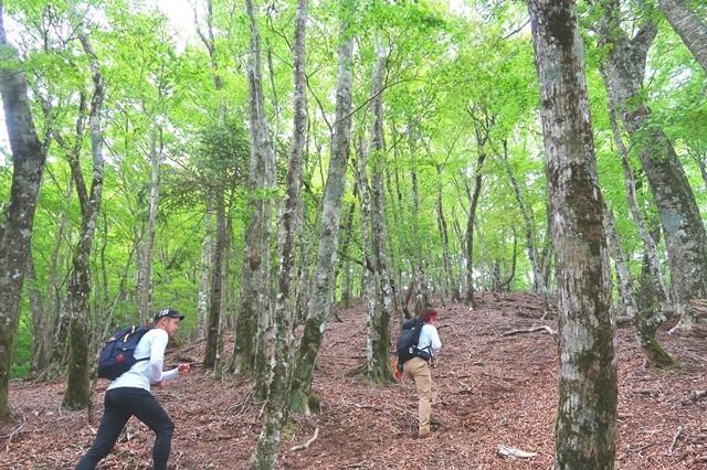 檜洞丸北尾根の新緑の様子