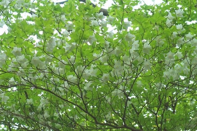 檜洞丸北尾根のシロヤシオが咲いていた