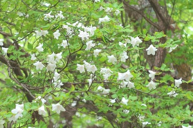 檜洞丸北尾根登山道の標高1,300mくらいからシロヤシオの花が咲き始めていた