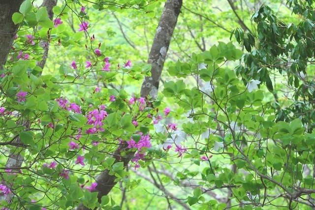 シロヤシオとピンク色のミツバツツジが檜洞丸北尾根で咲いていた