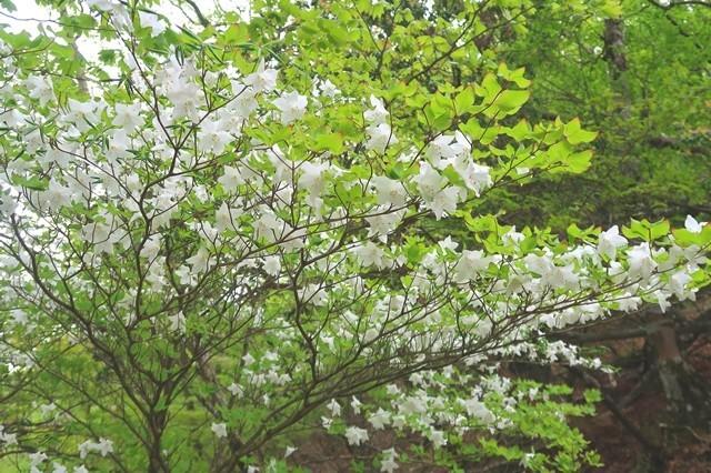 シロヤシオの花