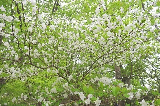 シロヤシオの花が満開の様子