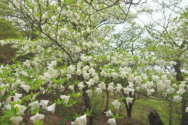 シロヤシオ咲く檜洞丸登山道