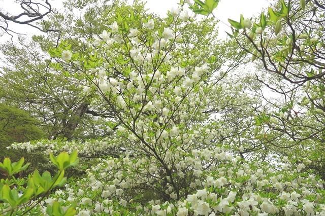 檜洞丸シロヤシオの花が多く圧巻