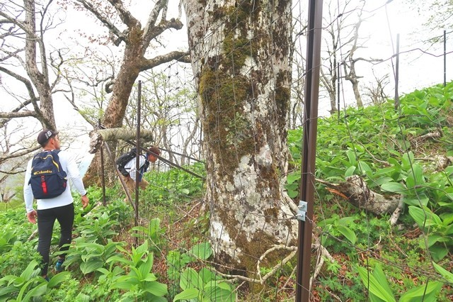 檜洞丸の山頂周辺の鹿柵の様子