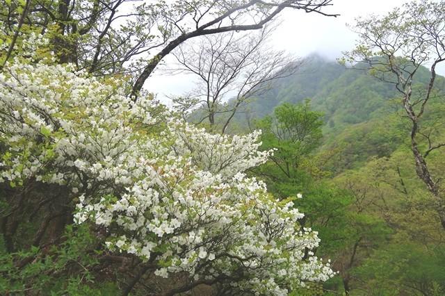 蛭ヶ岳への登山道もシロヤシオが咲いていた