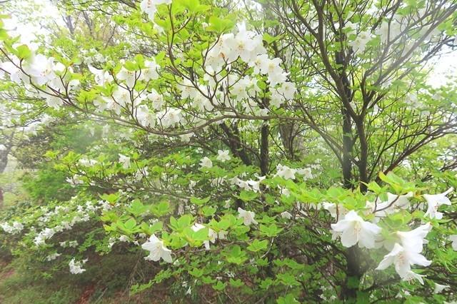 臼ヶ岳から蛭ヶ岳への登山道もシロヤシオが咲いていた