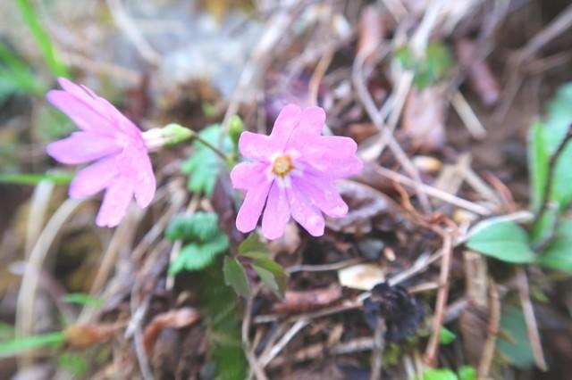 蛭ヶ岳山頂直下の紫色のお花