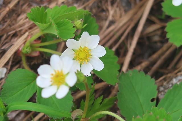 石転び沢の白い花