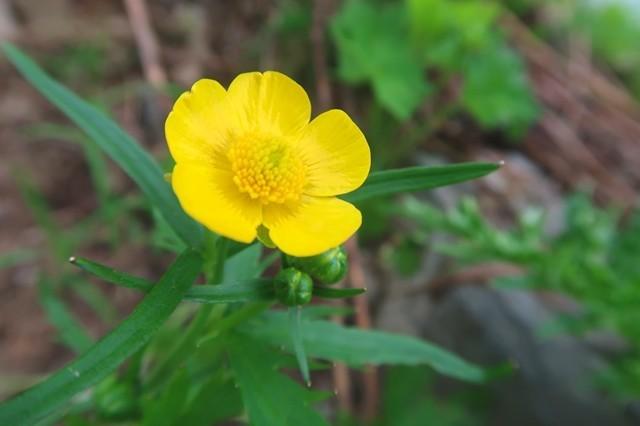 草付きの黄色い花