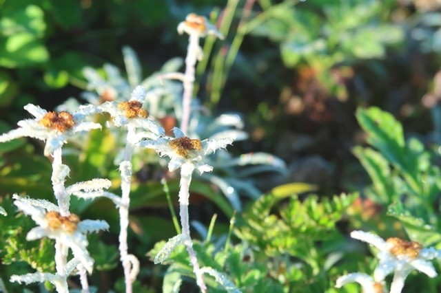 梅花皮岳周辺の登山道高山植物の宝庫