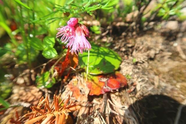 烏帽子岳への登山道上も高山植物が豊富