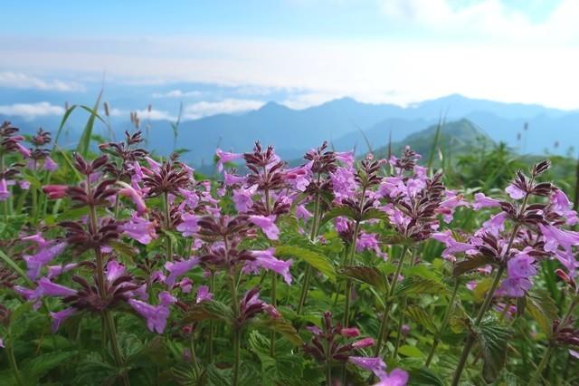 梅花皮岳・烏帽子岳へのコースと同様お花が多い