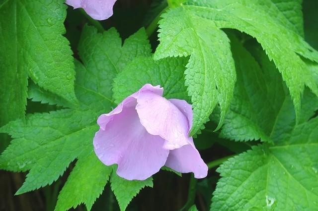 たシラネアオイのお花