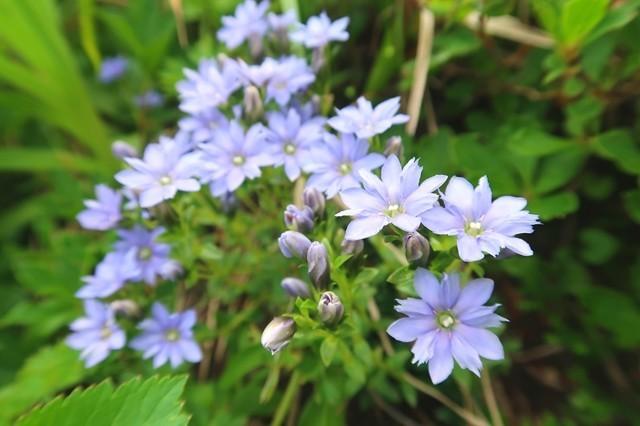 大日岳への登山道の花
