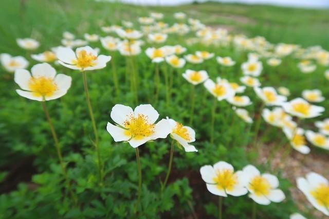 大日岳のお花畑