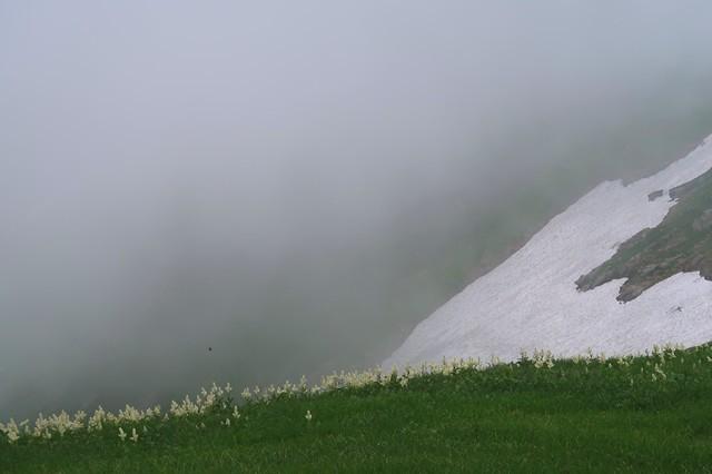 大日岳のコバイケイソウの群落地